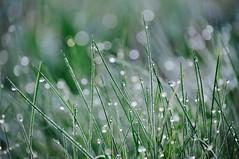 Tau am Morgen (studermelanie) Tags: green drops tau morgentau halme grässer