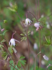 ヒメウズ (nofrills) Tags: flora floral plant plants weed weeds green white whiteflowers whiteflower whiteandgreen tiny ヒメウズ flower flowers fruit seed