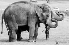 Man Eater (bharathputtur122) Tags: elephants trunks maneater herd zoo safari woburn elephant