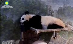 Panda Bei (pattie7459) Tags: ccncby smithsonianscreenshot nationalzoo panda snooze