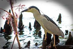 Black-Crowned Night Heron (Wonder Woman !) Tags: blackcrownednightheron heron bird swamp ngc cbbr nycticoraxnycticorax lakelandflorida usa