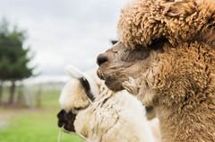 medina-7743 (FarFlungTravels) Tags: alpaca animal farm medinacounty onefineday shear wool