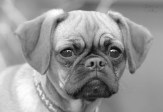Grumpy Face (Glenda Hall) Tags: cookiemonster cookie dog puppy pugalier grumpyface cute pup pug cavalierkingcharlesspaniel monochrome blackandwhite mono greyscale gimp canon80d sigma150500 photoediting glendahall april 2017 face nose eyes floppyears pet portrait glenda wrinkles frown grumpy
