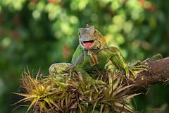 Green iguana, Iguana Verde, Iguana iguana (Sergio Bitran M) Tags: 2016 costarica reptil iguana iguanaverde squamata iguanidae reptilia