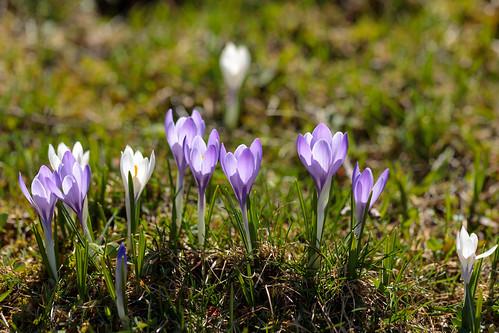 Crocus flowering