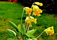 Cowslip Primula veris. (Fr Paul Hackett) Tags: flower gardenflower kingussie grass