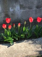 春うらら (eyawlk60) Tags: tulip spring red 春 チューリップ 赤