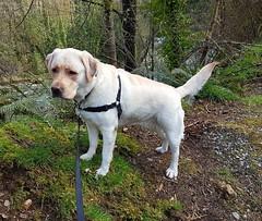 Gracie wishing everyone a Happy Easter (walneylad) Tags: gracie dog canine pet puppy lab labrador labradorretriever cute april spring capilanoriverregionalpark westvancouver britishcolumbia canada goodfriday