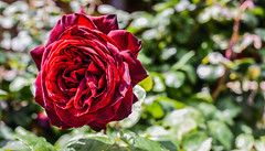 unconscious beauty (pbo31) Tags: livermore pleasanton california eastbay alamedacounty garden flower flora earth nature april 2017 spring boury pbo31 nikon d810 bloom rose green red unconscious beauty depthoffield backyard season blooming yard macro fold