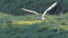 Barn Owl (KHR Images) Tags: barnowl barn owl tytoalba wild bird birdofprey inflight flying hunting morning daylight fendraytonlakes rspb cambridgeshire eastanglia nature wildlife nikon d500 kevinrobson khrimages