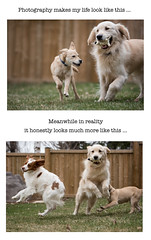 photography vs reality (Dave (www.thePhotonWhisperer.com)) Tags: dogs play brittanyspaniel brittany goldenretriever golden mutt mixedbreed
