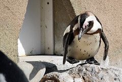 Play Me Some Foot Stomping Music (MTSOfan) Tags: penguin africanpenguin lvz
