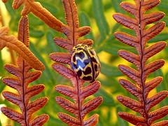 Ladybird in AUTUMN MOOD (Lani Elliott) Tags: lanielliott lani elliottlani nature naturephotography ladybird insect ladybug leaves autumn autumnleaves macro upclose closeup bokeh autumncolours garden macrounlimited