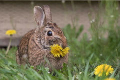 Weed Control (Angie Vogel Nature Photography) Tags: rabbit bunny wildlife mammal dandelions weedcontrol cottontailrabbit