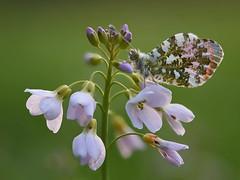 Aurorafalter (rudolfaurnhammer) Tags: natur tiere insekten falter schmetterlinge tagfalter aurorafalter wiesenschaumkraut makro wildlife
