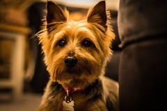 Say Hello to Clover (J. Erica Photography) Tags: dog pet animal colour yorkie terrier photography canon 700d