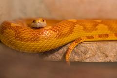Fais un somme  Sans méfiance  Je suis làààà  Aie confiance (S@ndrine Néel) Tags: snake serpentdesblés cornsnake stmartinlaplaine loire néelsandrine