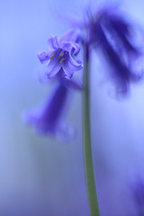 Bluebell, Somerset, Ian Wade (Disorganised Photographer - Ian Wade - Travel, Wil) Tags: bluebells somerset flowers blue plants ian wade