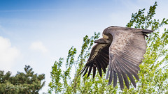 IMG_1811 (Bert Portael) Tags: vulture bird wildlife beeksebergen animals wilde dieren