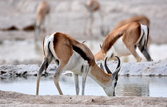 Time to drink. (pstone646) Tags: wildlife antelope nature mammals animals africa namibia reflections waterhole bokeh dof
