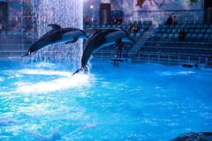 IMG_1153 (Jun.Ohashi) Tags: aquaparkshinagawa aquarium dolphin shinagawa アクアパーク品川 イルカショー 品川 桜語り 水族館 港区 東京都 日本 jp canon キャノン eos eos5dmarkiv eos5dmark4 5dmarkiv 5dmark4 5d4 tamronspaf2875mmf28xrdildasphericalifmacroa09 tamron タムロン sp 2875mm f28 di ld aspherical if macro a09
