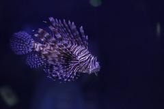 Roar.... (nsioss) Tags: lionfish fish aquarium indoor bloop bubbles fishy fishyfishy cute