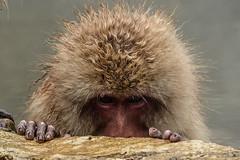 Nagano - Jigokudani - 15 (coopertje) Tags: japan nagano snowmonkey monkey jigokudanimonkeypark jigokudanijaenkoen sneeuw snow sneeuwmakaak macaque japanesemacaque cold onsen hottub hotspring water