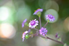 DSC_8005 (miguelmv85) Tags: bokeh flores macro abejas
