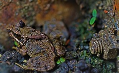 Camouflaged and Tiny Toad - 'No bigger than a bolt and about too....' (petershaw4) Tags: tiny toad top20frogs