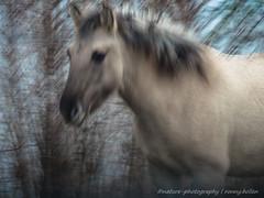 konikpaard / wild horse (nature photography by 3620ronny.be) Tags: belgie maasvallei grensmaas panasoniclumixdmcgx8 outdoor paard naturephotography wildhorse animal konikpaarden natuurfotografie www3620ronnybe9999 natuurpark wildepaarden natuurparkhochterbampd natuurgebied belgium maas panasoniclumix14140mmasph overstromingsgebied animals zoogdier natuurgebieden libellen maaskant
