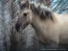 konikpaard / wild horse ( konik horse ) (nature photography by 3620ronny.be) Tags: belgie maasvallei grensmaas panasoniclumixdmcgx8 outdoor paard naturephotography wildhorse animal konikpaarden natuurfotografie www3620ronnybe9999 natuurpark wildepaarden natuurparkhochterbampd natuurgebied belgium maas panasoniclumix14140mmasph overstromingsgebied animals zoogdier natuurgebieden libellen maaskant
