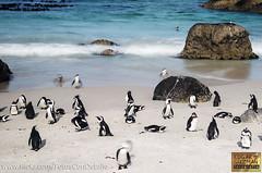 Penguins at Cape Point (Edgar Guzmán) Tags: animal anmiales animals sudafrica sudáfrica southafrica pingüino penguin largaexposición largaexposicion longexpo longexposure