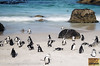 Penguins at Cape Point