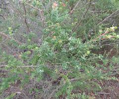 Leptospermum rotundifolium 1 (barryaceae) Tags: booderee avenue hyams beach jervis bay national park nsw australia aushp heath plant ausheathplant
