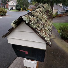 The unintentional #greenroof ... #lichen- #moss-covered #mailbox #frommydailywalk #PNW #bryology #lichenology (Heath & the B.L.T. boys) Tags: moss mailbox bryology lichen greenroof instagram