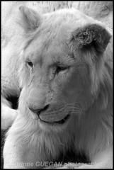 JEUNE LION BLANC (corinneguegan) Tags: gatofelins felins bigcats faunesauvage fauves
