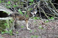 Wulf (ranger_1281) Tags: wolf wulf natur nature tiere animals wildlife olderdissen tierpark heimattierpark bielefeld nrw owl ranger1281 nikon d7200 tamron