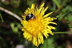 Bee (Hugo von Schreck) Tags: hugovonschreck macro makro insect insekt bee biene canoneos5dsr tamron28300mmf3563divcpzda010