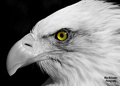 Bald Eagle, Cambridge, Ontario, Canada. (mikemccumber) Tags: birding birds bird birdsofprey baldeagle eagles eagle wildlifephotography wildlife animals blackandwhite blackandwhitephotography eyes ontario canada canoncameras