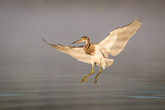 Gear Down, Flaps Extended (gseloff) Tags: tricoloredheron bird flight bif landing water wildlife horsepenbayou pasadena texas kayakphotography gseloff