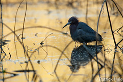 Little Blue Heron (patrickhale7173) Tags: little blue heron arkansas nature wadingbird