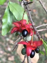 Mickey Mouse Plant seed cluster (jungle mama) Tags: mickeymouseplant ochmakirkii hawaii tropicalshrub seed ochna drupelet black redstyle reddisk
