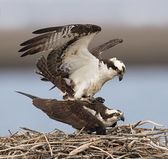 Next generation of Osprey in the making (Mawrter) Tags: osprey mate mating two twobirds twofer action pair avian bird birds birding nature wild wildlife canon nj newjersey forsythenwr brigantine wings wing feather feathers parents specanimal