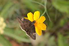 IMG_9355 (rarobbins3365) Tags: funereal duskywing butterfly