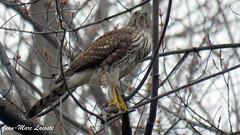 Épervier de Cooper, 25 avril 2017 - Cooper's Hawk - Préparation de son nid - (lacostejm) Tags: épervierdecooper coopershawk parcangrignon amis des rapides lasalleverdunparc angrignon