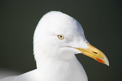 Seagull portrait (Ronald6801) Tags: seagull sea gull meeuw portrait portret möwe mouette white resting rustend rust wit weiss weis blanc closeup close england dover engeland anglais angleterre