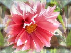 * Dalia con i riflessi dell'alba  * Dahlia with sunrise reflections  * (argia world 1) Tags: dalia fiore giardino riflessi macro dahlia flower garden reflections