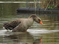 Greylag goose (deannewildsmith) Tags: earthnaturelife staffordshire goose fradleynaturecentre bird greylaggoose greylag