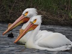 American White Pelicans (Connor Langan) Tags: americanwhitepelican blackhawkcounty bird bigwoodslake iowa