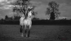 Alone I stand (AnthonyCNeill) Tags: horse pferd cheval caballo animal portrait outdoor alone blackandwhite schwartzundweiss blancetnoir blancaynegra nikon d750 lowkey clavebaja